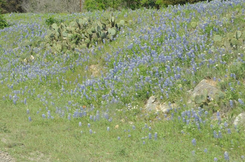 9302-Bluebonnets and Cactus
